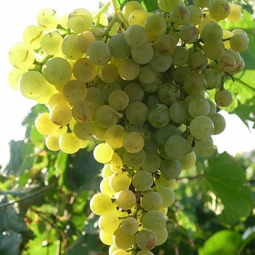 Виноград сорт Ритон