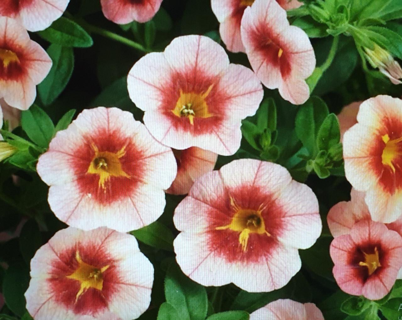Eyeconic Peach exp. №408 / подрощенное растение