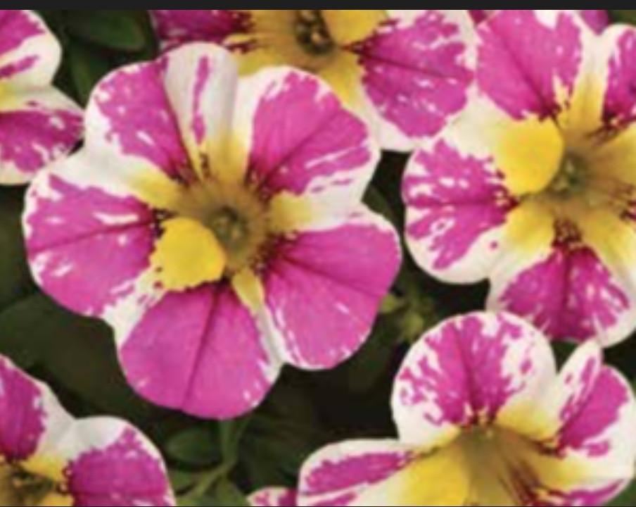 Candy Shop Sweet Dreams №405 / подрощенное растение