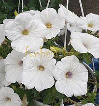 Cascadias Iceberg №523/цветущее растение