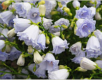 Campanula Cochleariifolia Elizabeth Oliver / взрослое цветущее растение