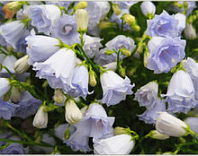 Campanula Cochleariifolia Elizabeth Oliver / подрощенное растение