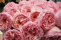 Роза Шарлин Принцесса Монако