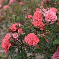 Роза Коралловый Дрифт