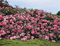 Роза Кятр сезон или Четыре сезона