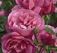 Роза Дебора