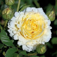 Роза Сирано де Бержерак