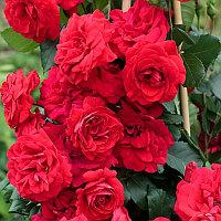 Роза Негреско