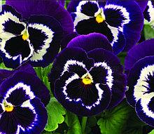 Маммот Вива ла Виолет