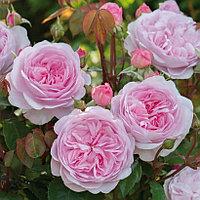 Роза Биби Мейзон