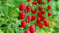 Томат Черри-Оливка 20 семян
