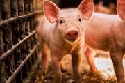 Как органические кислоты влияют на усвоение амиинокислот у свиньи