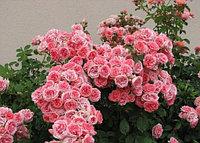 "Розы ""Флорибунда"""