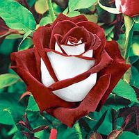 Чайно - гибридные розы