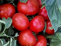 Семена томата АЙВАЗ 331/ AYVAZ 331 F1 (1000 шт)