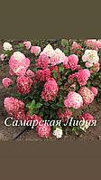 """Гортензия метельчатая «Самарская Лидия"""""""