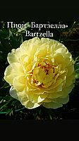 Пион «Бартзелла» Bartzella