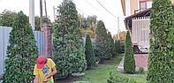 Стрижка хвойных деревьев