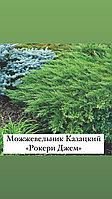 """Можжевельник Казацкий «Рокери Джем"""""""