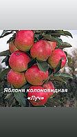 """Яблоня колоновидная «Луч"""""""