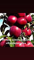 """Яблоня колоновидная «Конференция"""""""