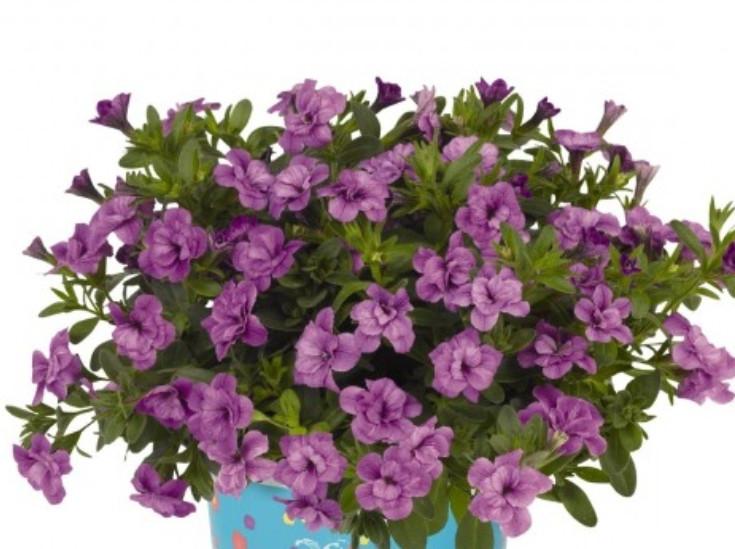 Aloha Double Lavender  №452 / подрощенное растение