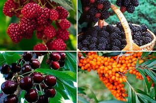 Семена плодово-ягодных кустарников