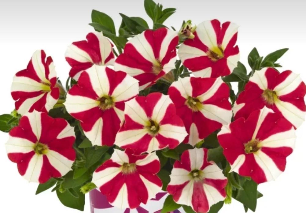 Peppy Strawberry № 561 / подрощенное растение