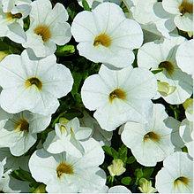 Minifamous Uno White  №451 / подрощенное растение