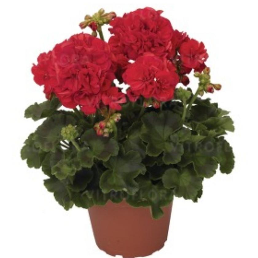 Robina / подрощенное растение