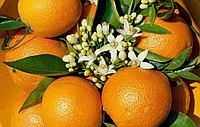Апельсина цветки 100 гр АЛТАЙ В НАЛИЧИИ В АЛМАТЫ