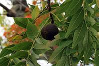 Черный орех лист 50 гр АЛТАЙ В НАЛИЧИИ В АЛМАТЫ