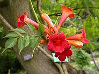 Гранат цветки 50 гр АЛТАЙ
