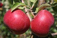 Саженцы яблони Ласковое