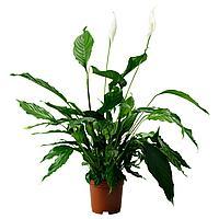 SPATHIPHYLLUM СПАТИФИЛЛУМ Растение в горшке, Спатифиллум, 24 см