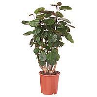 POLYSCIAS FABIAN ПОЛИСЦИАС ФАБИАН Растение в горшке, 24 см