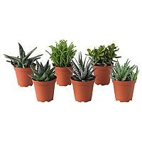 SUCCULENT СУККУЛЕНТЫ Растение в горшке, различные растения, 9 см