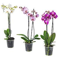 PHALAENOPSIS ФАЛЕНОПСИС Растение в горшке, Орхидея/2 стебля, 12 см