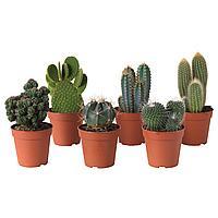 CACTACEAE КАКТУС Растение в горшке, различные растения, 12 см