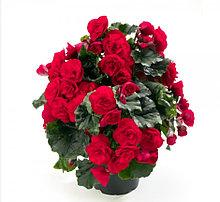 Elatior Carmen Red  N344/ укор.черенок