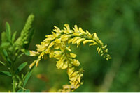 Семена Донника жёлтого/белого