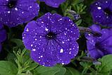 Петуния вегетативная Splash Dance Bolero Blue подрощенное растение  в кашпо или горшке от 3,5 л, фото 2