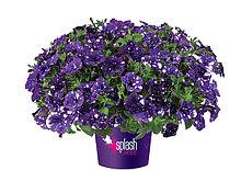 Петуния вегетативная Splash Dance Bolero Blue подрощенное растение  в кашпо или горшке от 3,5 л