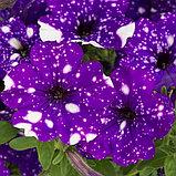 Петуния вегетативная Splash Dance Bolero Blue подрощенное растение  в кашпо или горшке от 3,5 л, фото 3