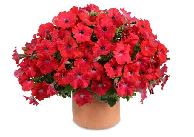 Петуния вегетативная Ray Red подрощенное растение