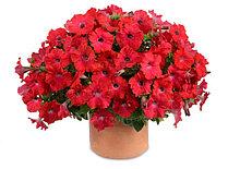 Петуния вегетативная Ray Red подрощенное растение в кашпо или горшке от 3,5 л