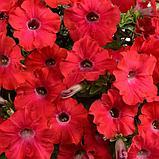 Петуния вегетативная Ray Red подрощенное растение, фото 2