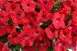 Петуния вегетативная Ray Red подрощенное растение, фото 3