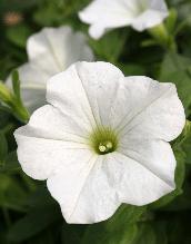 Петуния вегетативная Surfinia Vanilla подрощенное растение  в кашпо или горшке от 3,5 л