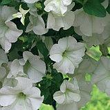 Петуния вегетативная Surfinia Vanilla подрощенное растение  в кашпо или горшке от 3,5 л, фото 2